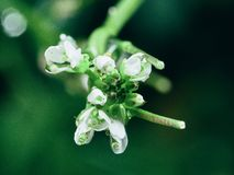 Special flowers blooming in the garden. White flowers incorporated with lively green of the stem and leaf royalty free stock photos