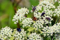 White flowers with insects Royalty Free Stock Image
