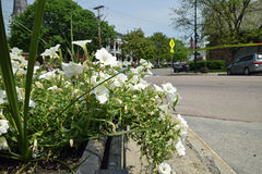 White flowers at an Intersection Stock Image