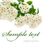 White flowers isolated Royalty Free Stock Image