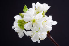 White flowers isolated on black Royalty Free Stock Images