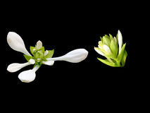 White flowers isolated. On black background Royalty Free Stock Images