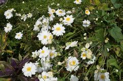 White flowers of the Japanese anemone Stock Images