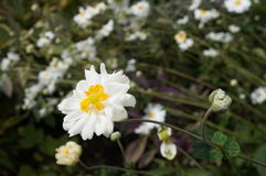 White flowers of the Japanese anemone Royalty Free Stock Images