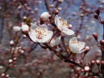 White flowers japanese cherry. Sakura royalty free stock photos