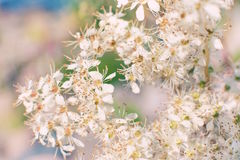 White flowers of jasmine. Small yeallow stomens Royalty Free Stock Photography