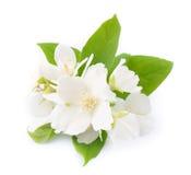White flowers of jasmine Royalty Free Stock Photo