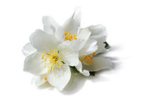 White flowers of jasmine on the white background Stock Photo