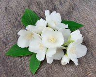 White flowers of jasmine Royalty Free Stock Image