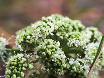 White flowers kale stock images
