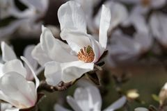 White flowers of the kobus magnolia Magnolia kobus. From East Asia stock photo