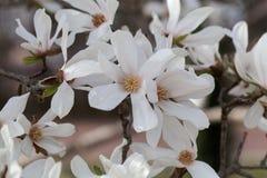 White flowers of the kobus magnolia Magnolia kobus. From East Asia royalty free stock photos