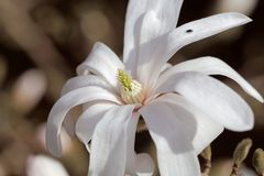 White flowers of the kobus magnolia Magnolia kobus. From East Asia stock photos