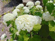 White Flowers. Large white flowers with big green leaves royalty free stock photo