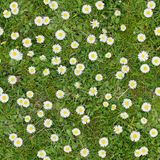 White flowers on the lawn top view seamless texture background Stock Images