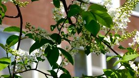 White flowers and  leaves a bird cherry. Bird cherry bushes swaying in the wind. The building in the background. Closeup stock video footage