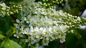 White flowers and  leaves a bird cherry. Bird cherry bushes swaying in the wind. Closeup stock video