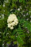 White flowers and leaves of blossoming rowan tree, sorbus aucuparia, close-up, selective focus, shallow DOF.  Stock Photography
