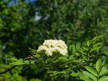 White flowers and leaves of blossoming rowan tree, sorbus aucuparia, close-up, selective focus, shallow DOF.  Royalty Free Stock Photography