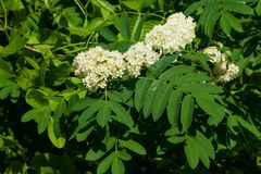 White flowers and leaves of blossoming rowan tree, sorbus aucuparia, close-up, selective focus, shallow DOF.  Stock Images
