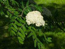 White flowers and leaves of blossoming rowan tree, sorbus aucuparia, close-up, selective focus, shallow DOF.  Stock Image