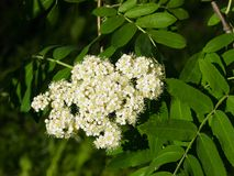 White flowers and leaves of blossoming rowan tree, sorbus aucuparia, close-up, selective focus, shallow DOF.  Royalty Free Stock Image