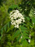 White flowers and leaves of blossoming rowan tree, sorbus aucuparia, close-up, selective focus, shallow DOF.  Stock Photo