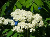 White flowers and leaves of blossoming rowan tree, sorbus aucuparia, close-up, selective focus, shallow DOF.  Royalty Free Stock Photo