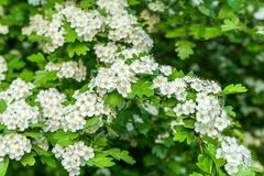 Flowers and leaves of a hawthorn shrub. White flowers and leaves of a hawthorn shrub royalty free stock photos