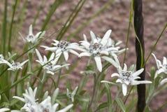 White flowers of leontopodium alpinum plant. Leontopodium alpinum plant in bloom stock image