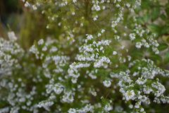 White flowers like grains in a field. Small white bunch of flowers on green background. white bunches spread across Stock Image