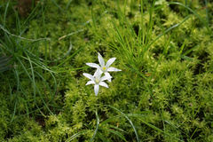 White flowers like stars on a background of grass. And vivid green moss Royalty Free Stock Photos