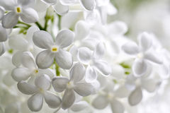 White flowers of lilac Stock Image
