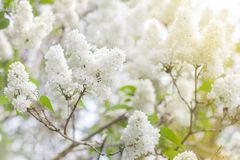 White flowers lilac blossom in spring as background Stock Images