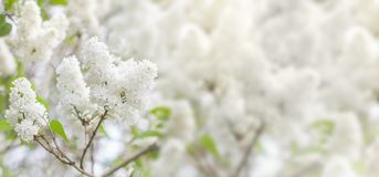 White flowers lilac blossom in spring as background Royalty Free Stock Photos