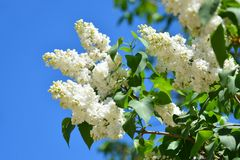 White flowers of lilac in the spring garden. Bush with fragrant stock image