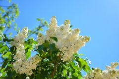 White flowers of lilac in the spring garden. Bush with fragrant royalty free stock images