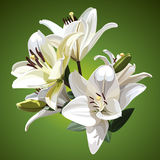 White flowers of Lilium candidum Madonna Lily. Illustration on green background. Stock Photography