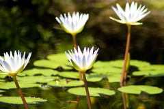 White Flowers on Lillies. Flowers on water lillies in a pond Royalty Free Stock Images