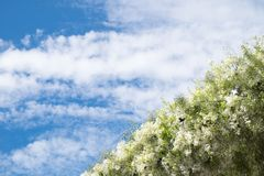 White flowers line with sky Royalty Free Stock Photos