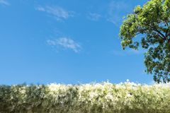 White flowers line and tree Royalty Free Stock Photos