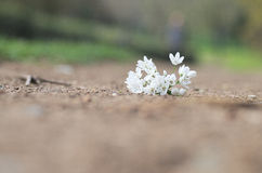 White flowers. White little flowers lying down on the ground Stock Photography