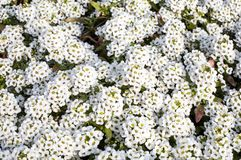 White flowers of Lobularia maritima or Alyssum maritimum Royalty Free Stock Images