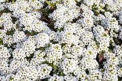 White flowers of Lobularia maritima or Alyssum maritimum Royalty Free Stock Images