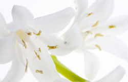 White flowers macro  Royalty Free Stock Photos