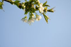 White flowers in macro. Flowering trees. Bee on a white flower. stock photo