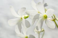 White flowers macro Stock Photos