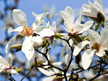 White flowers of magnolia Royalty Free Stock Photos
