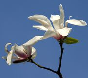 White flowers of magnolia Stock Photos
