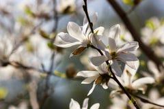 White flowers of magnolia kobus. At blurred sky background stock photo